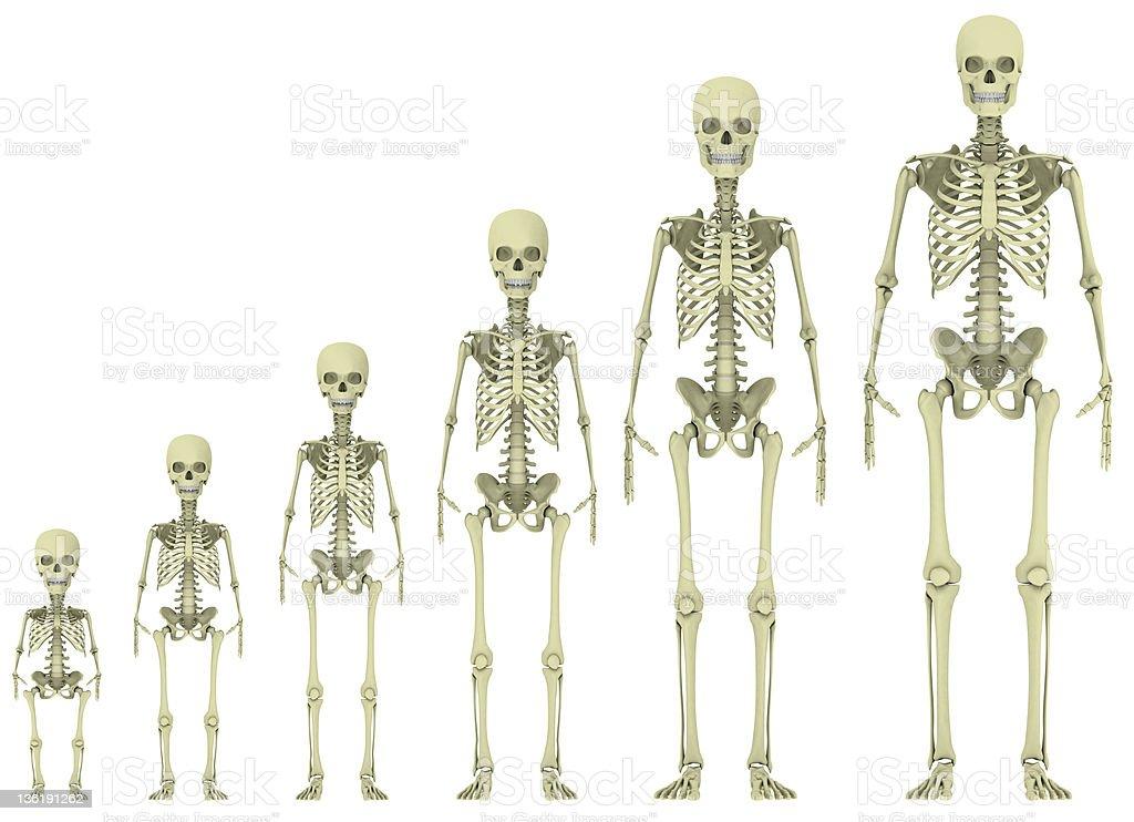 skeleton evolution stock photo 136191262 | istock, Skeleton
