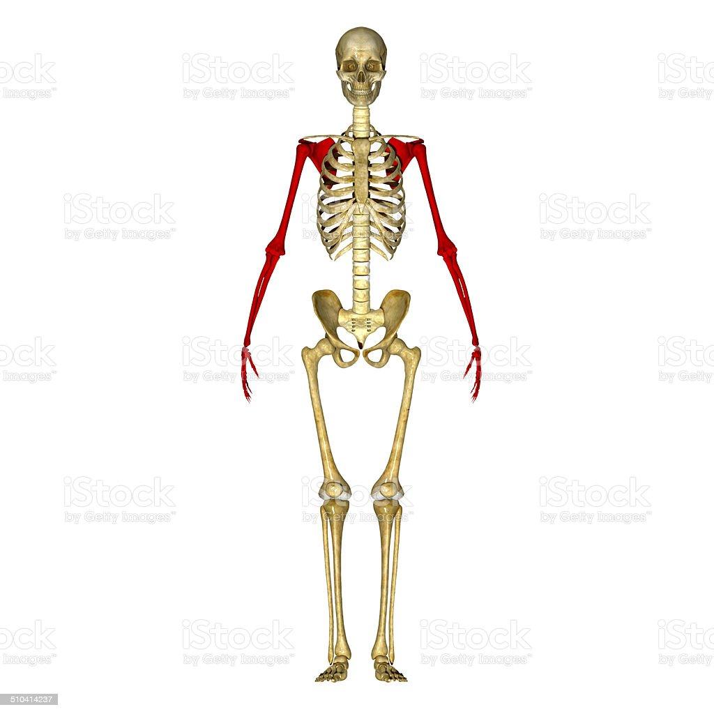 Skeleton Hand Stock Photo 510414237 Istock