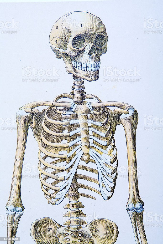 Skeleton Illustration from 100 Year Old Medical Textbook royalty-free stock photo