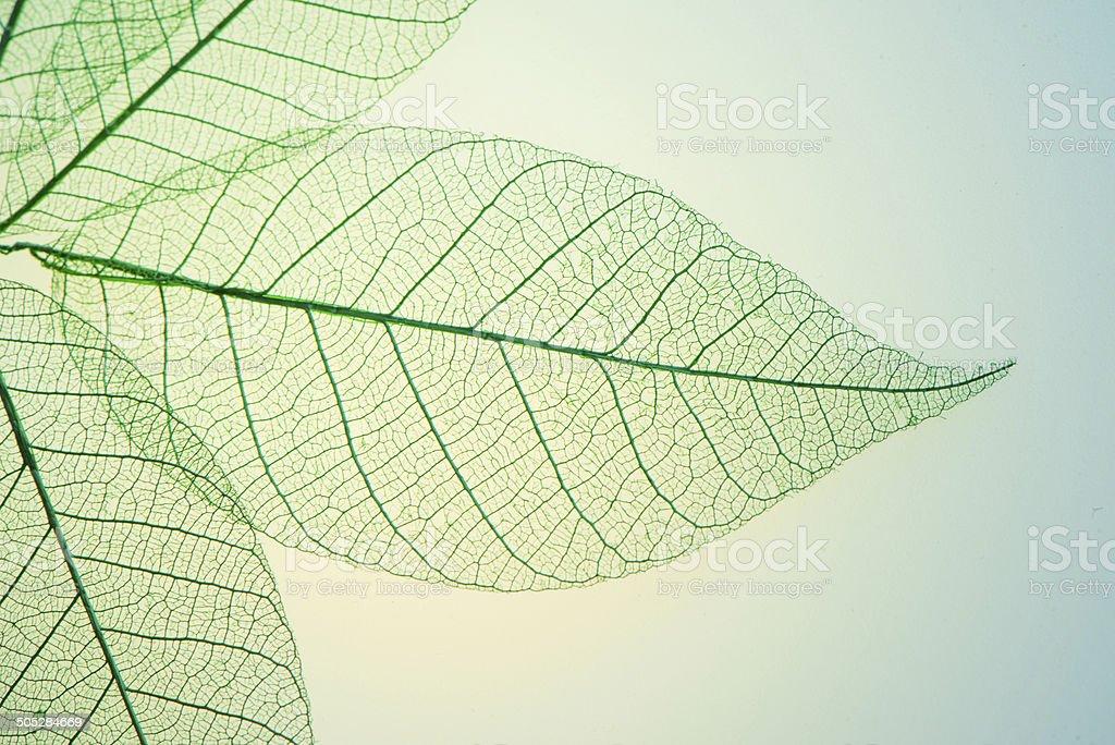 Skeleton Leaves Flower stock photo