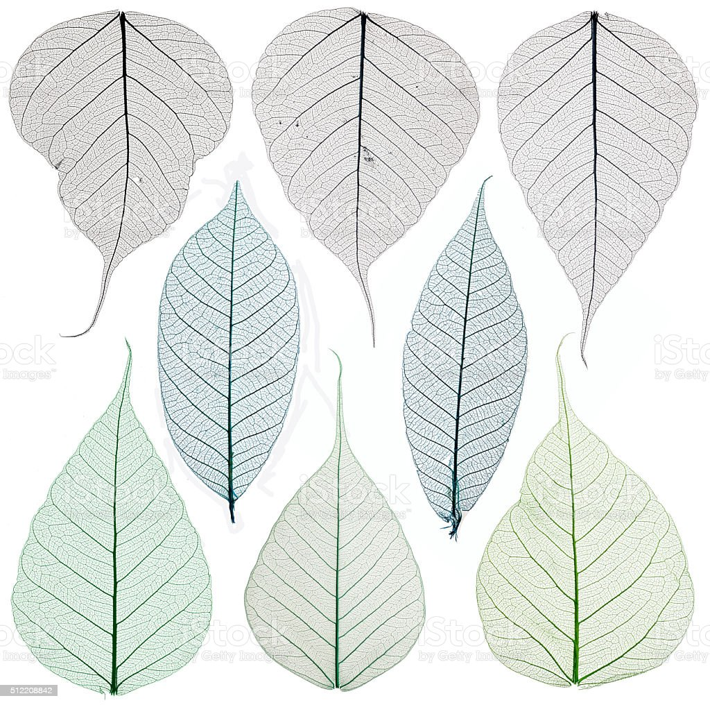 Skeleton leaves isolated on white stock photo