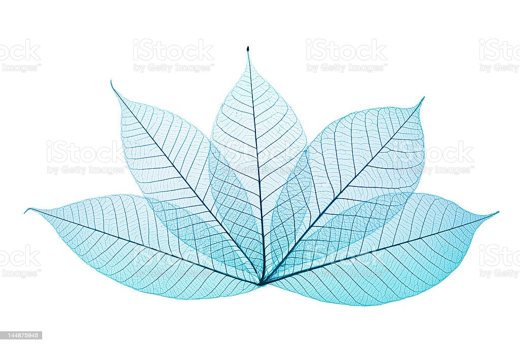 Skeleton Leaves royalty-free stock photo