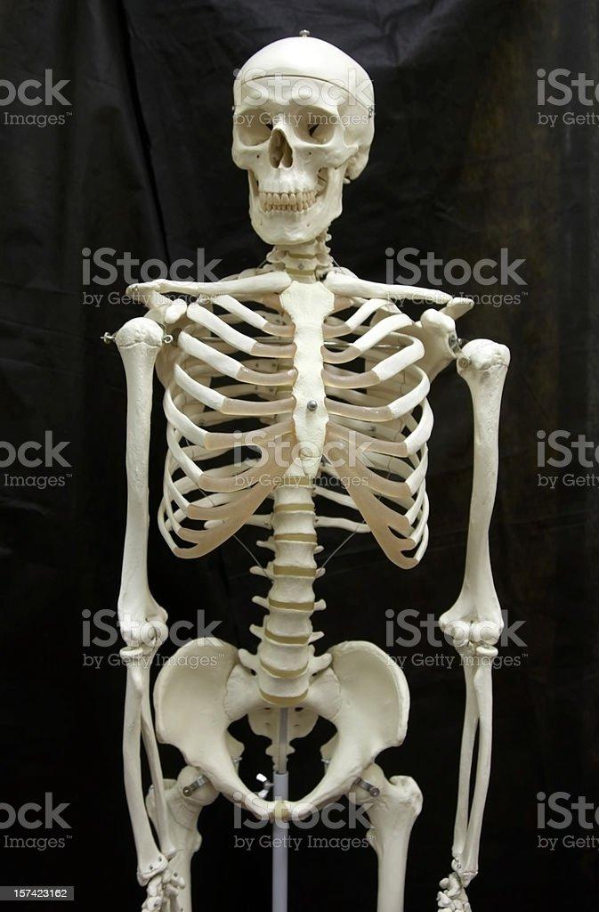 Skeleton medical model royalty-free stock photo