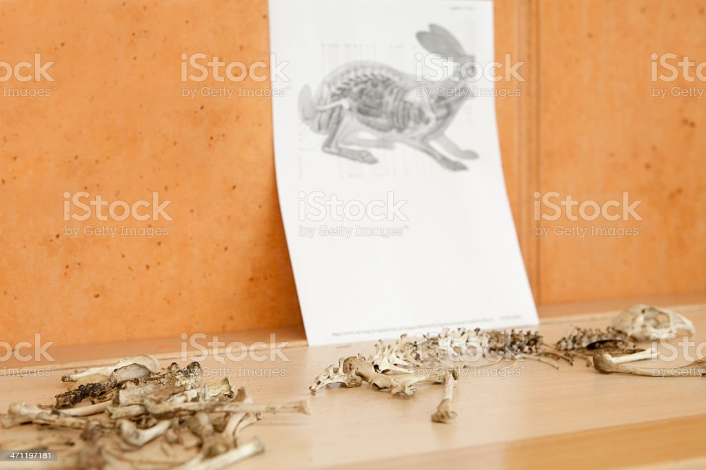 Skeleton of a rabbit for education. royalty-free stock photo