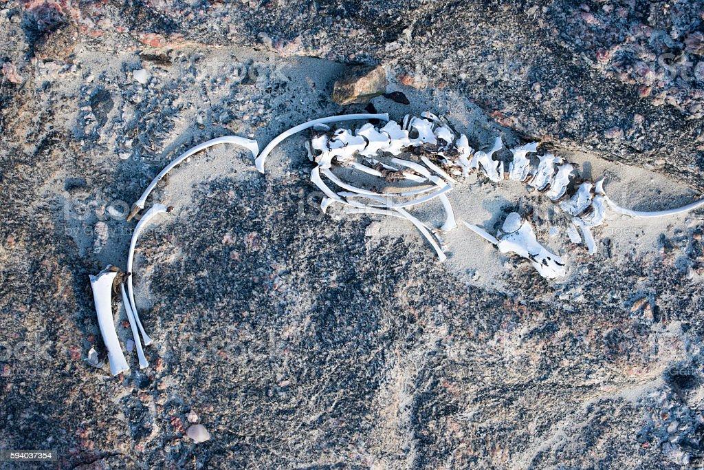 Skeleton of a Seal stock photo