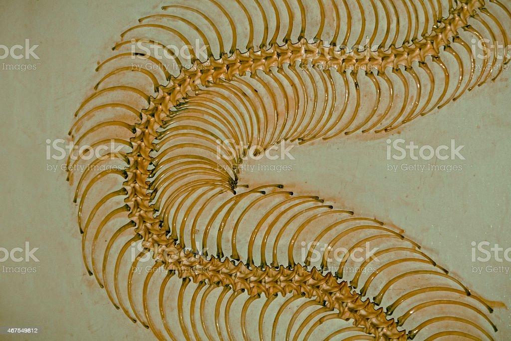 Skeleton of Burmese Python stock photo
