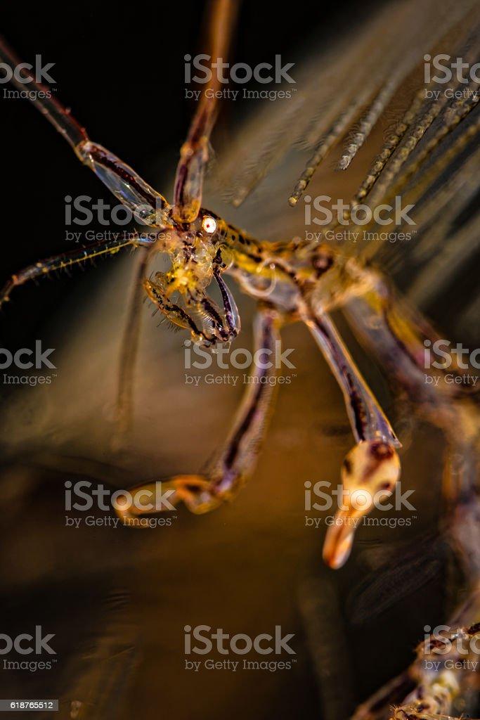 Skeleton shrimp (Caprellidae), close up. stock photo