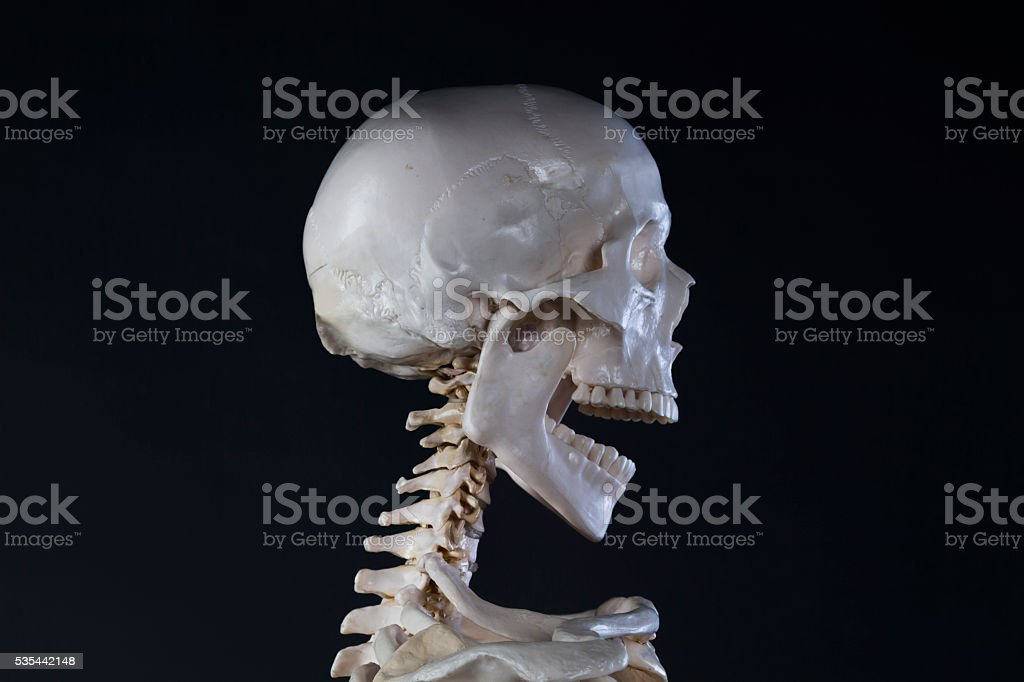 Skeleton skull with open mouth stock photo