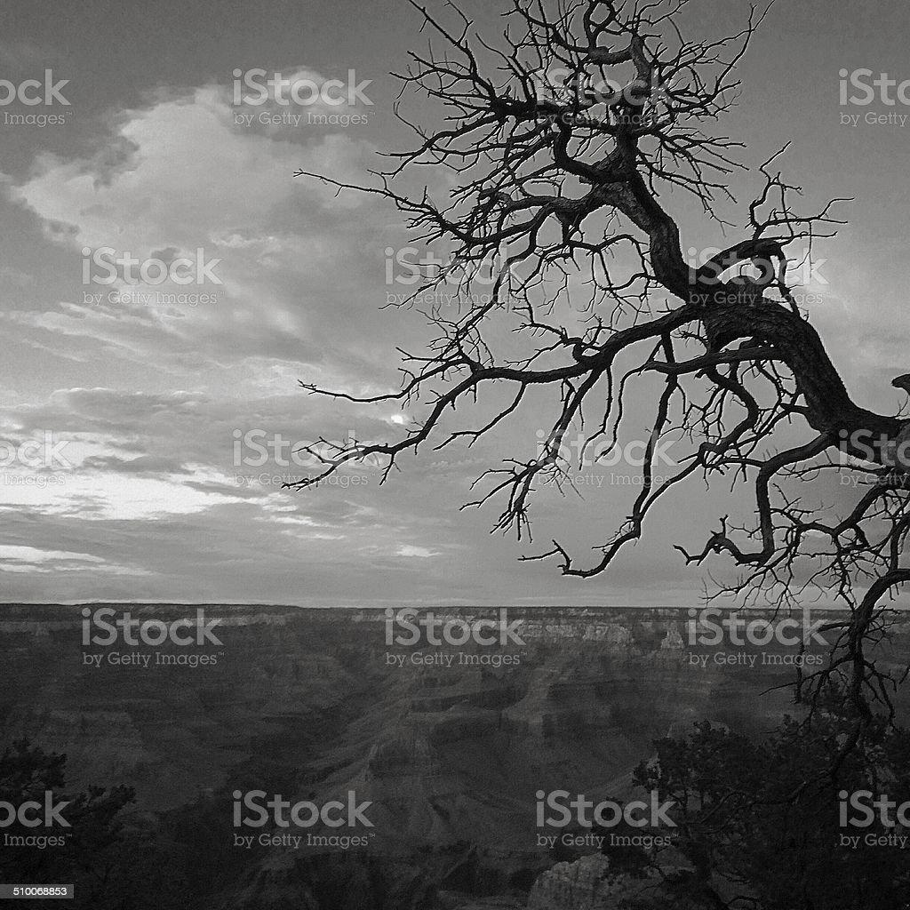 Skeleton Tree Against Canyon stock photo