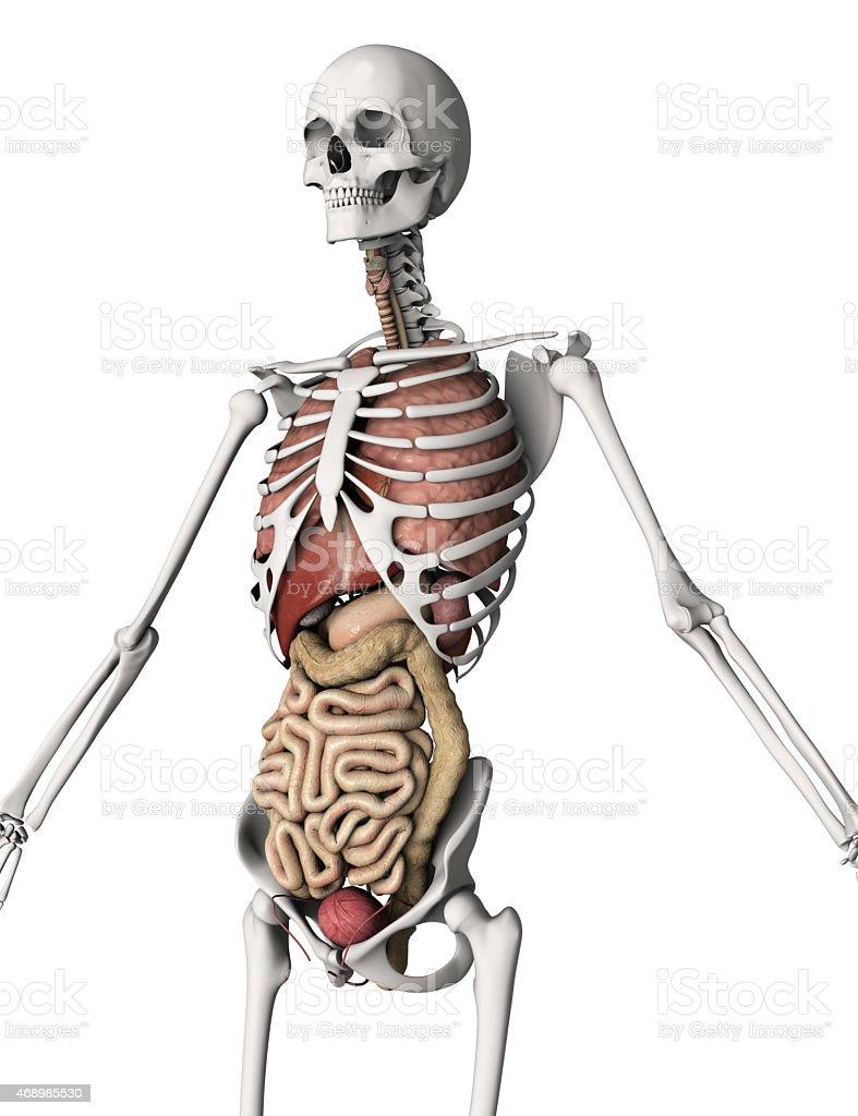 3 D Esqueleto Con Los órganos Internos Stock Foto e Imagen de Stock ...