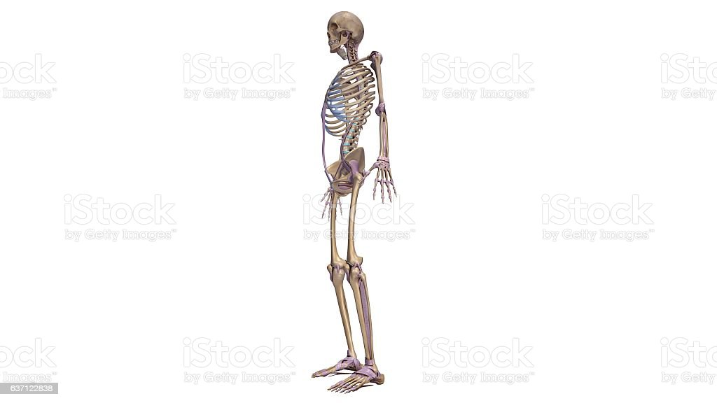 Skeleton with ligaments stock photo