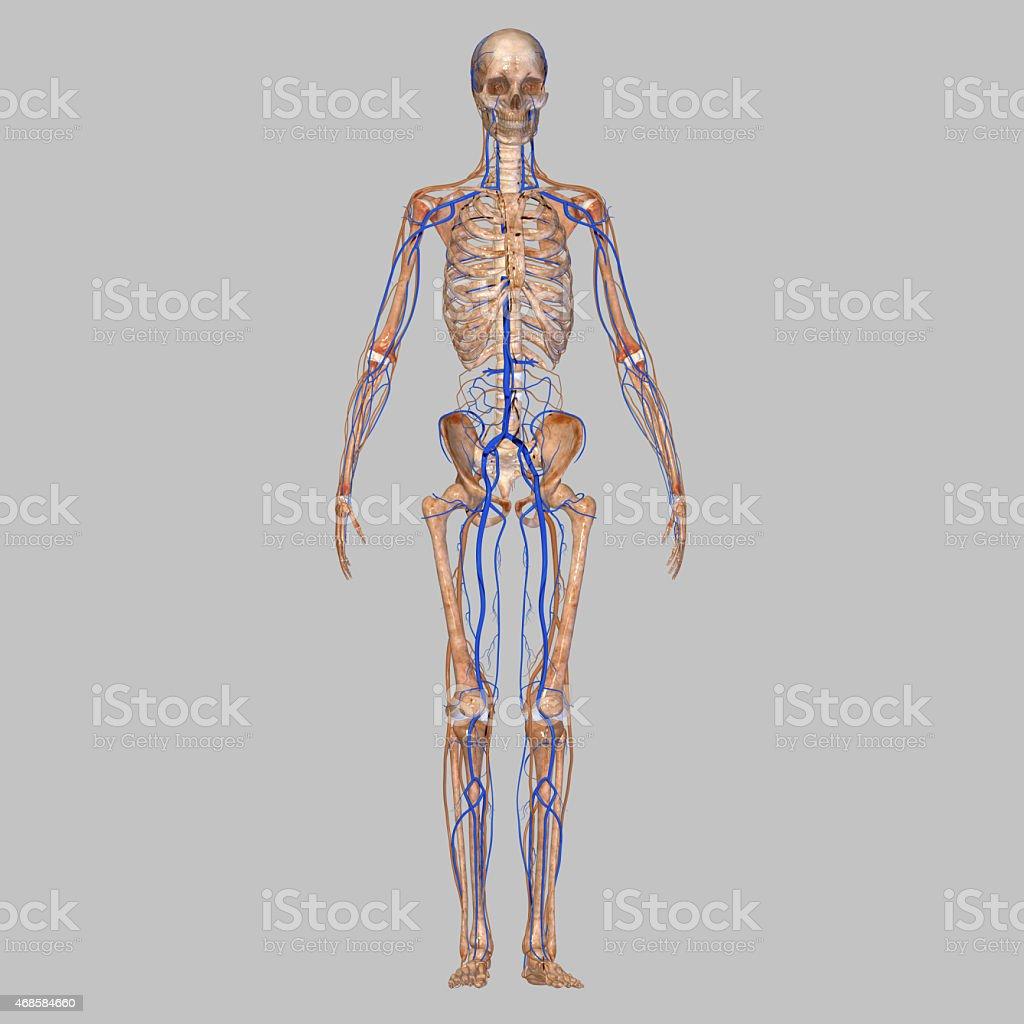 Skeleton with veins stock photo