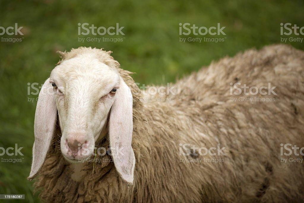 Skeptic sheep stock photo