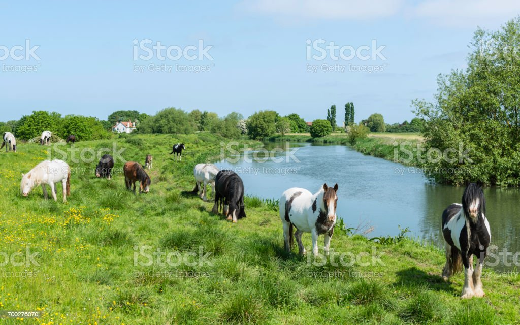 Skewbald horses grazing along the River Hull during summer. stock photo