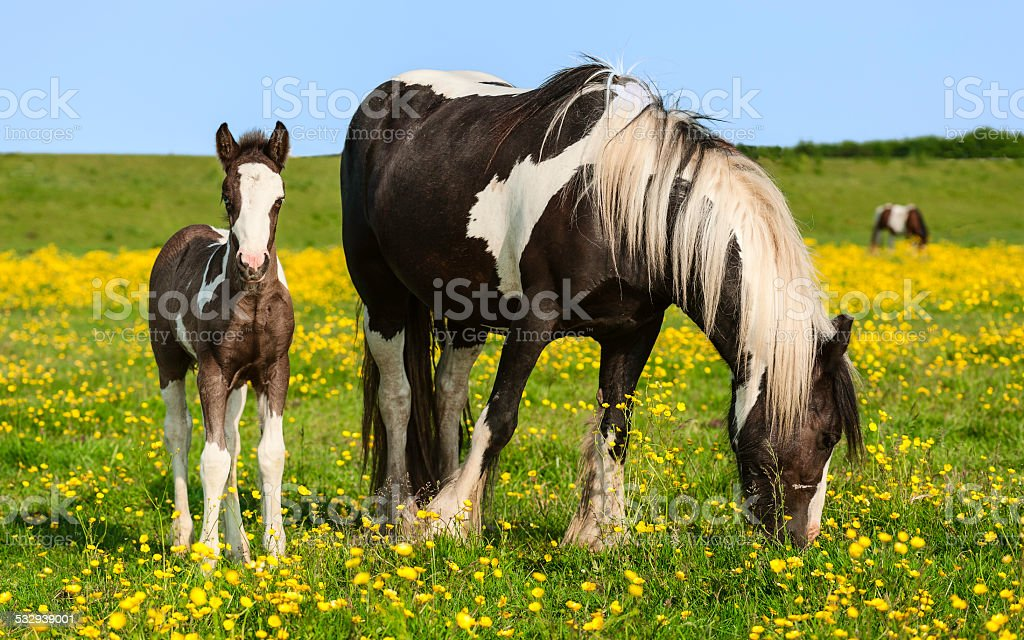 Skewbald mare and foal, Swine Moor, Beverley, Yorkshire, UK. stock photo