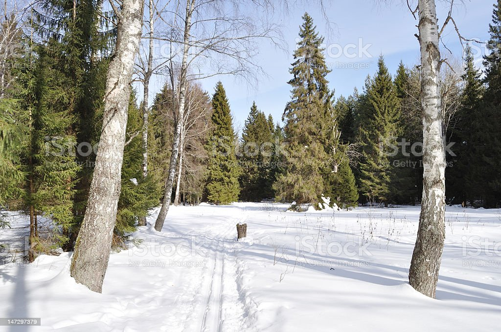 Ski track between two birches in winter forest royalty-free stock photo
