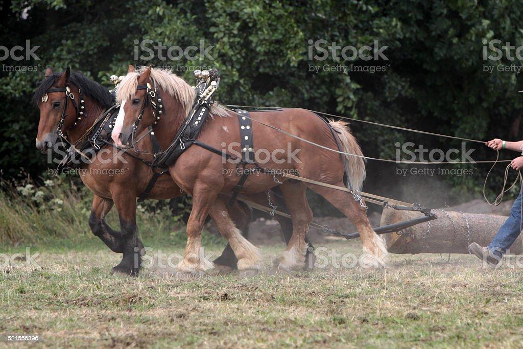Skidding horses at work stock photo