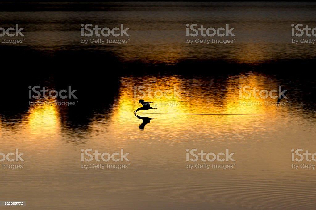 Skimmer fishing during sunset pantanal stock photo