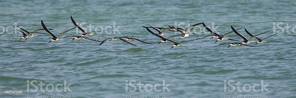 Skimmer Flock stock photo