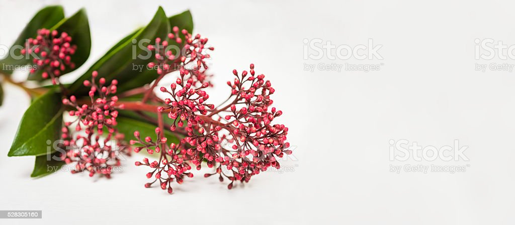 Skimmia japonica buds stock photo