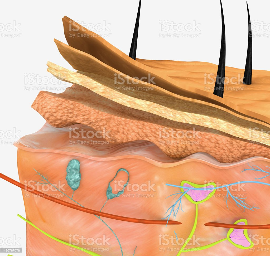 Skin anatomy vector art illustration