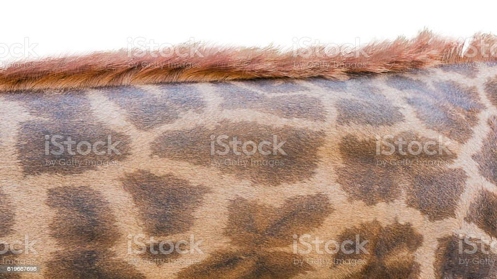 Skin and mane of giraffe stock photo
