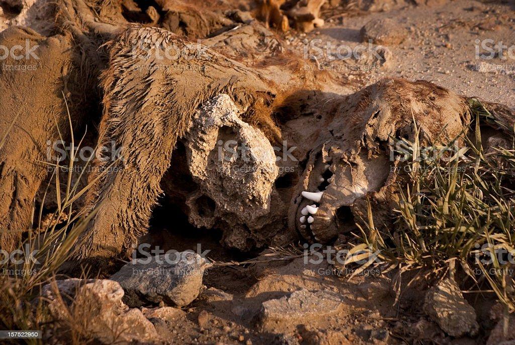Skin and Skull of Dead Animal Dog in Desert royalty-free stock photo