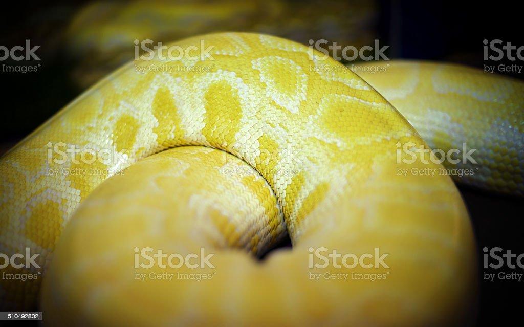 Skin of Gold Python,Reticulated python (Python reticulatus) : Cl stock photo
