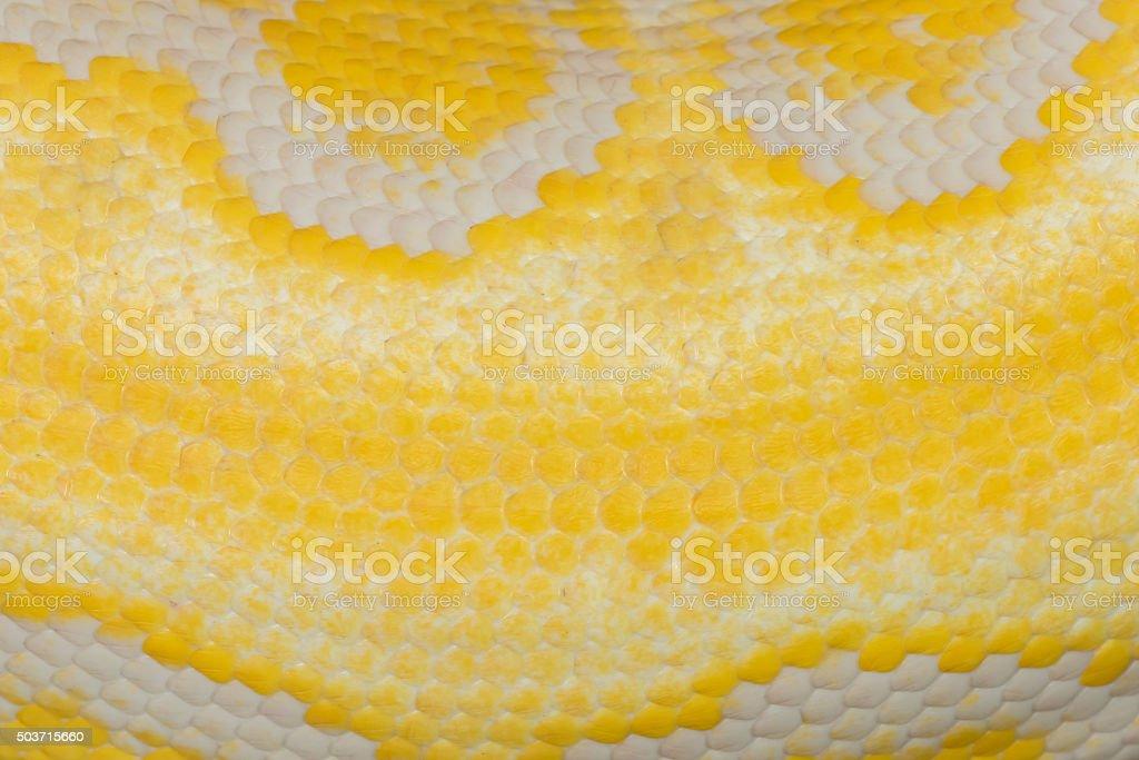 skin of Gold Python,Reticulated python (Python reticulatus) stock photo