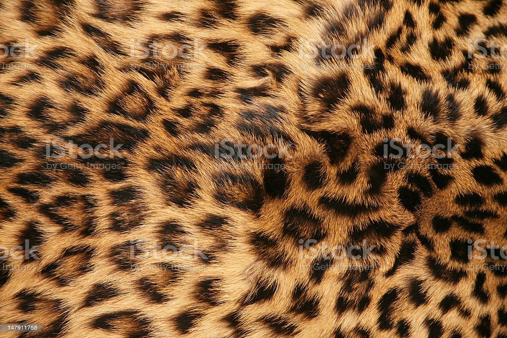Skin of the leopard royalty-free stock photo