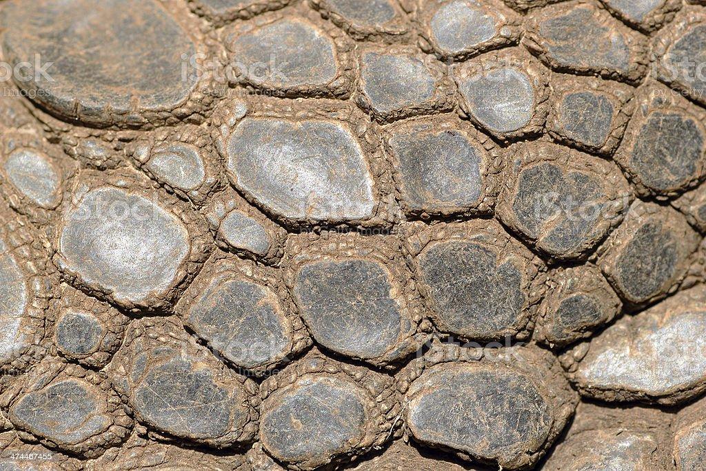 Sking of Aldabra giant tortoise stock photo