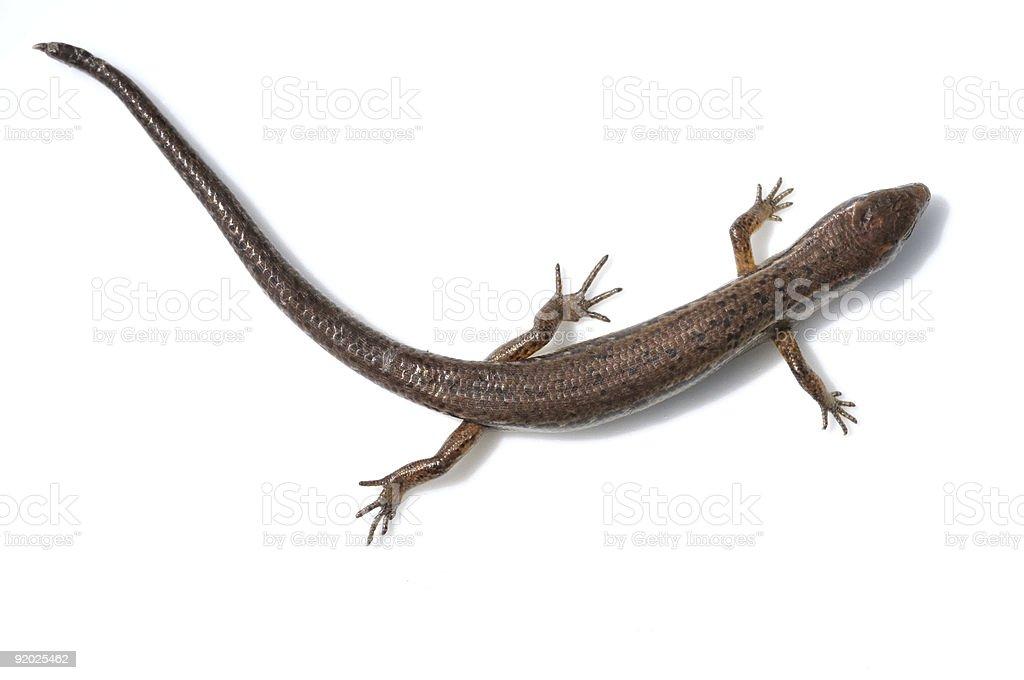 Skink Lizard stock photo