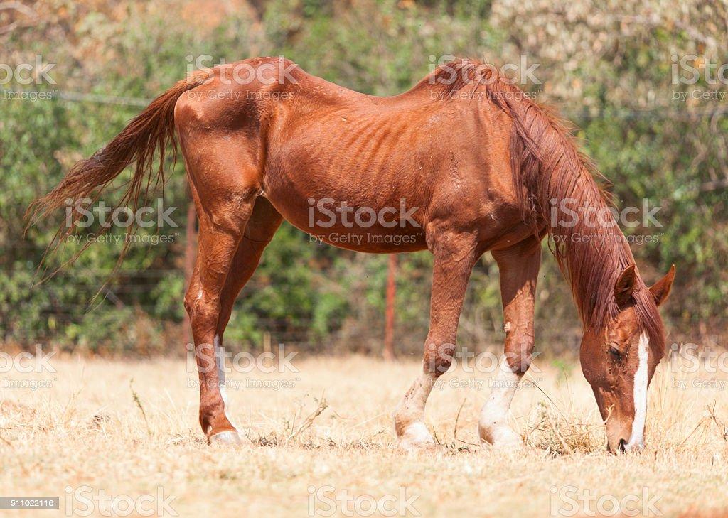 Skinny horse stock photo