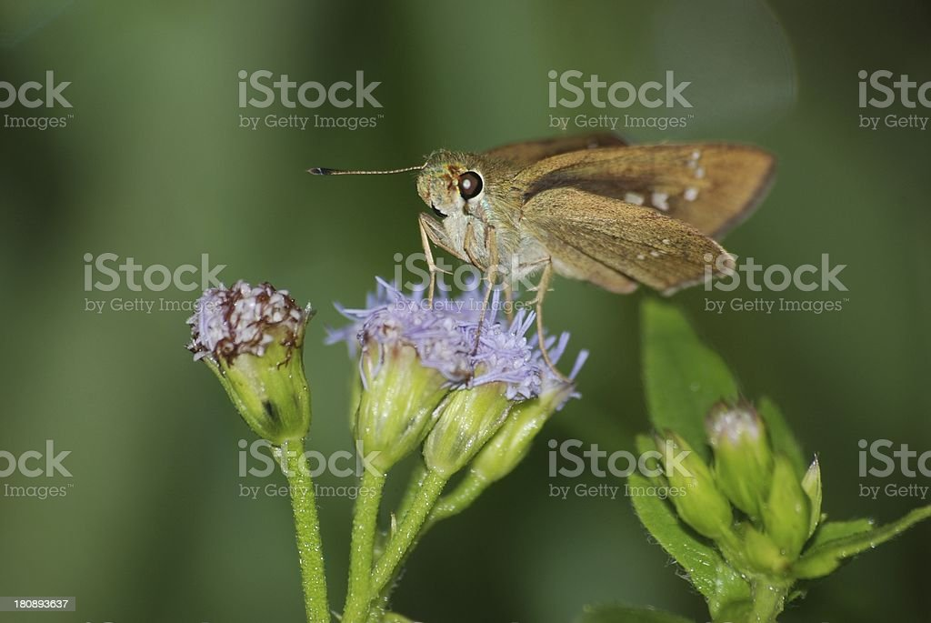 skipper butterfly on flower royalty-free stock photo