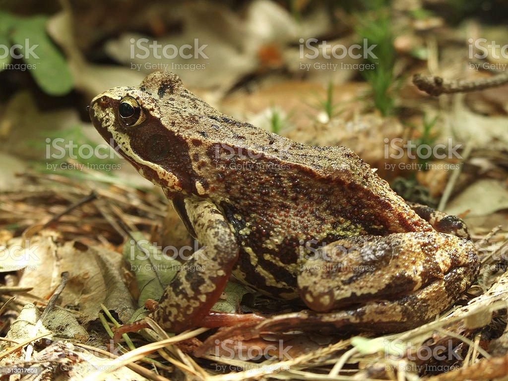 Skipper frog in woods stock photo