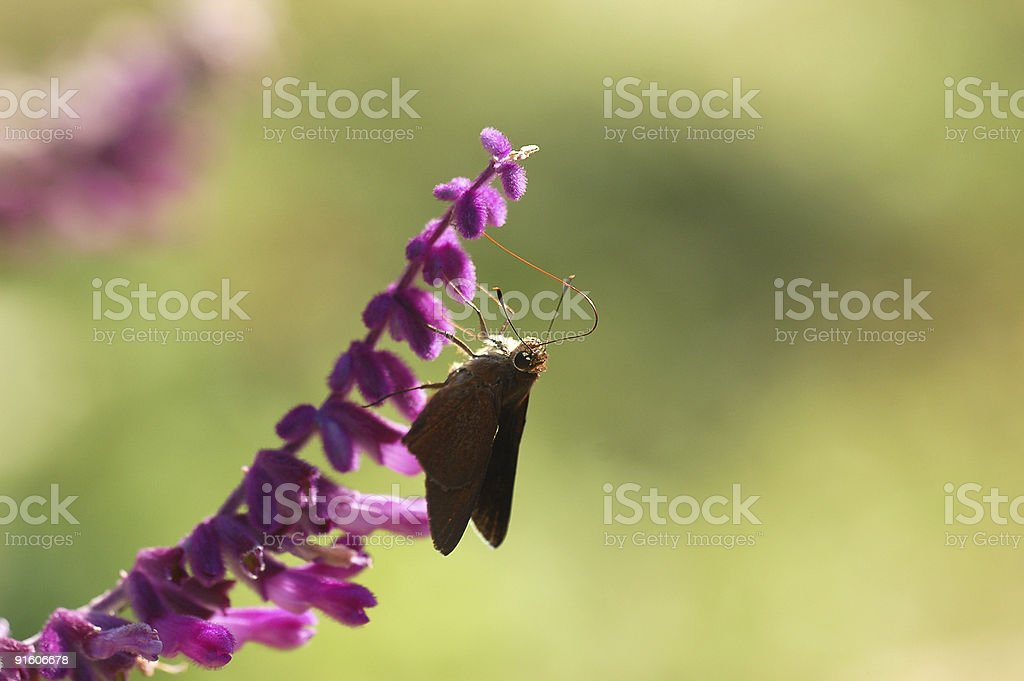 Skipper on mexican sage stock photo