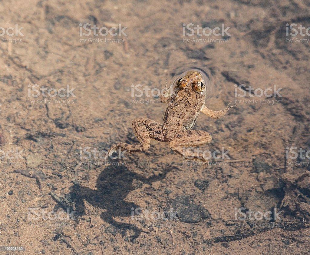 Skittering Frog Euphlyctis cyanophlyctis aka Indian Skipper Frog stock photo