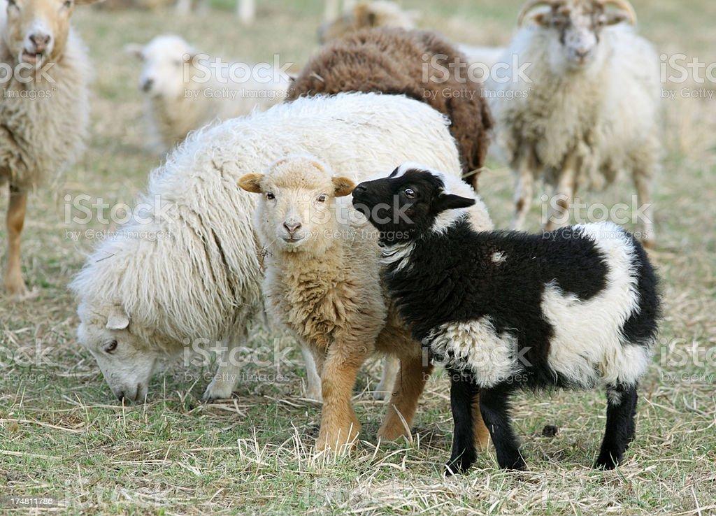 Skudden Sheep Flock royalty-free stock photo