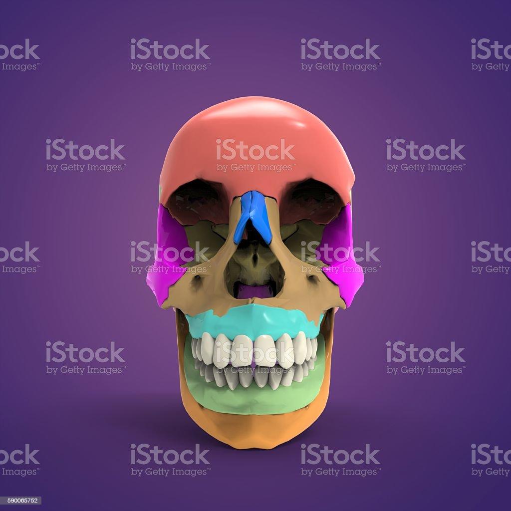 skull anatomy(Head,neck) stock photo