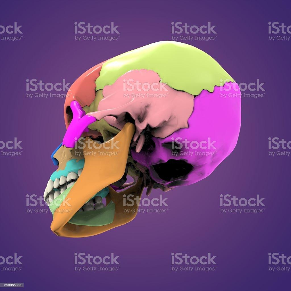 skull anatomy(face,neck) stock photo