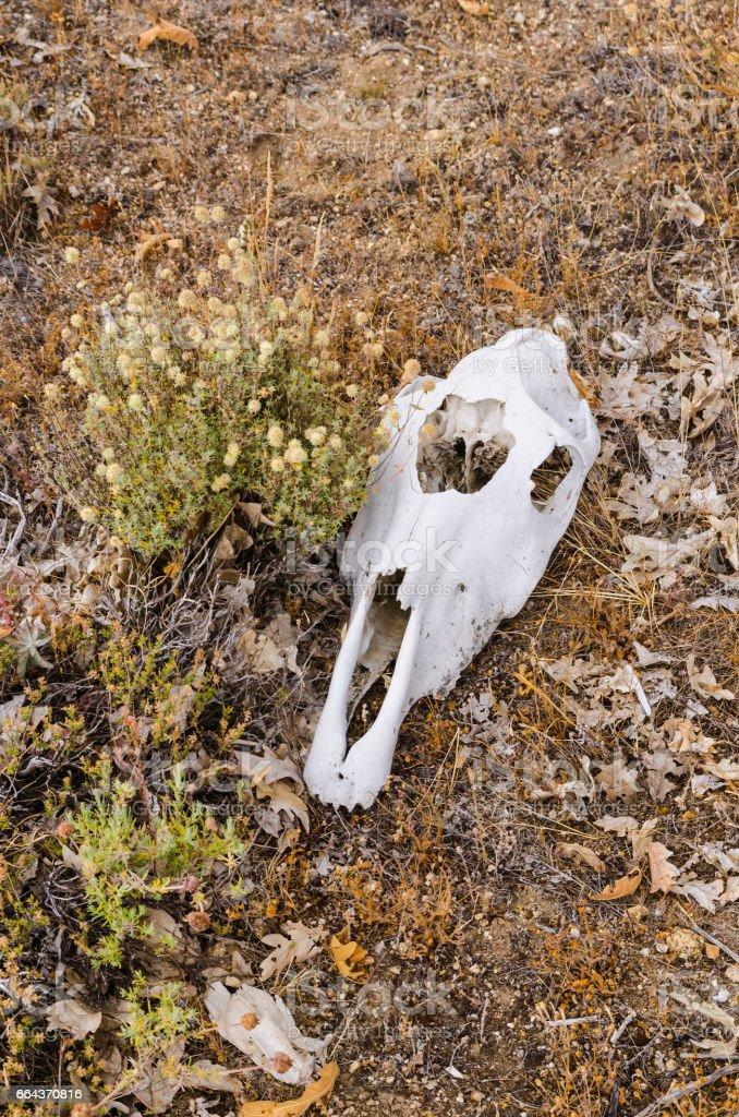 skull bone remains stock photo