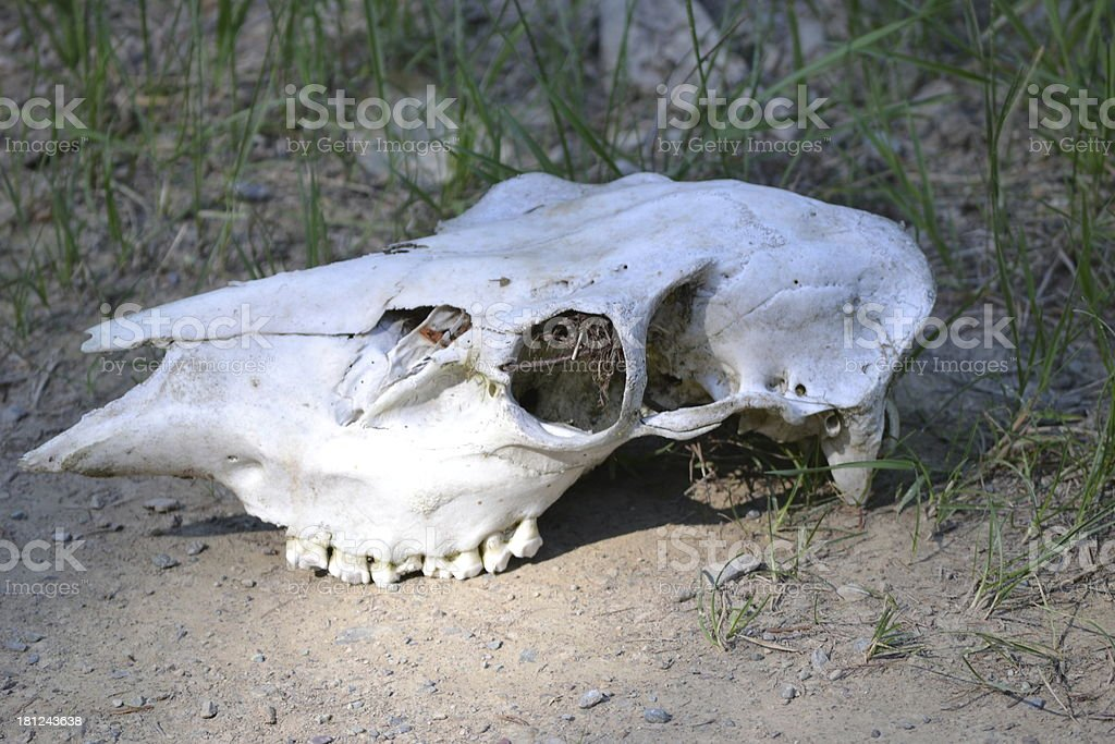 Skull in the woods. royalty-free stock photo