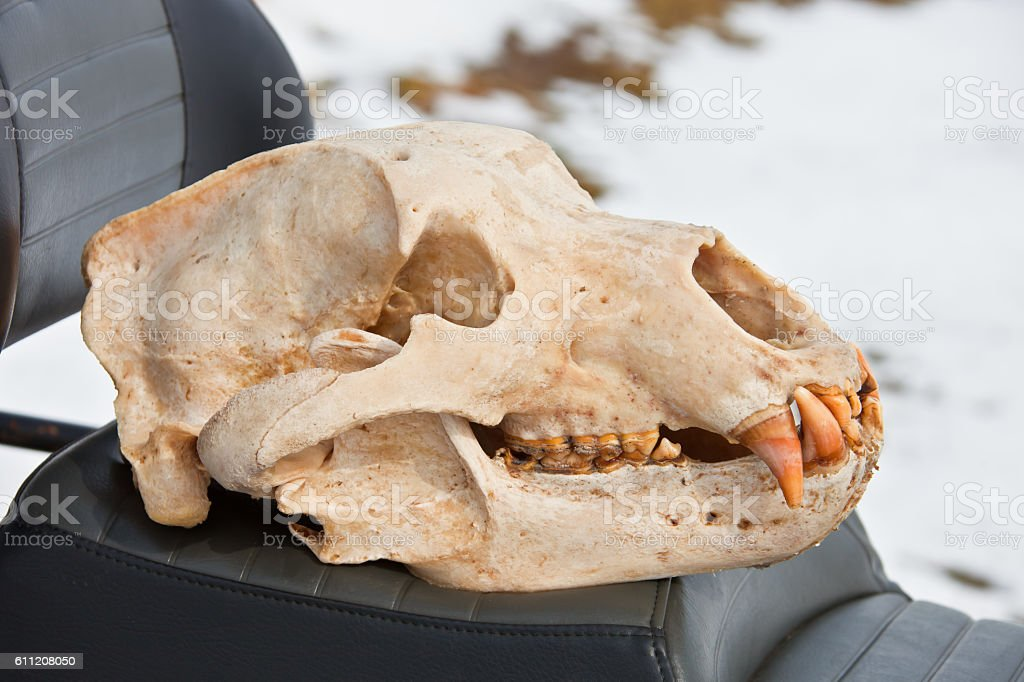 Skull Kamchatka brown bear after the initial processing stock photo