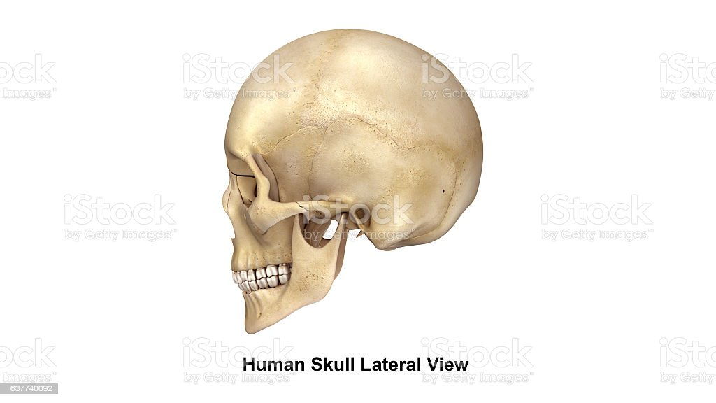 Skull Lateral view stock photo