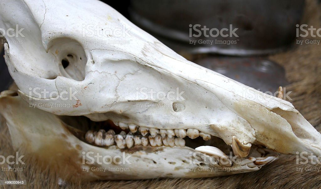 skull of a dead animal in the far west stock photo