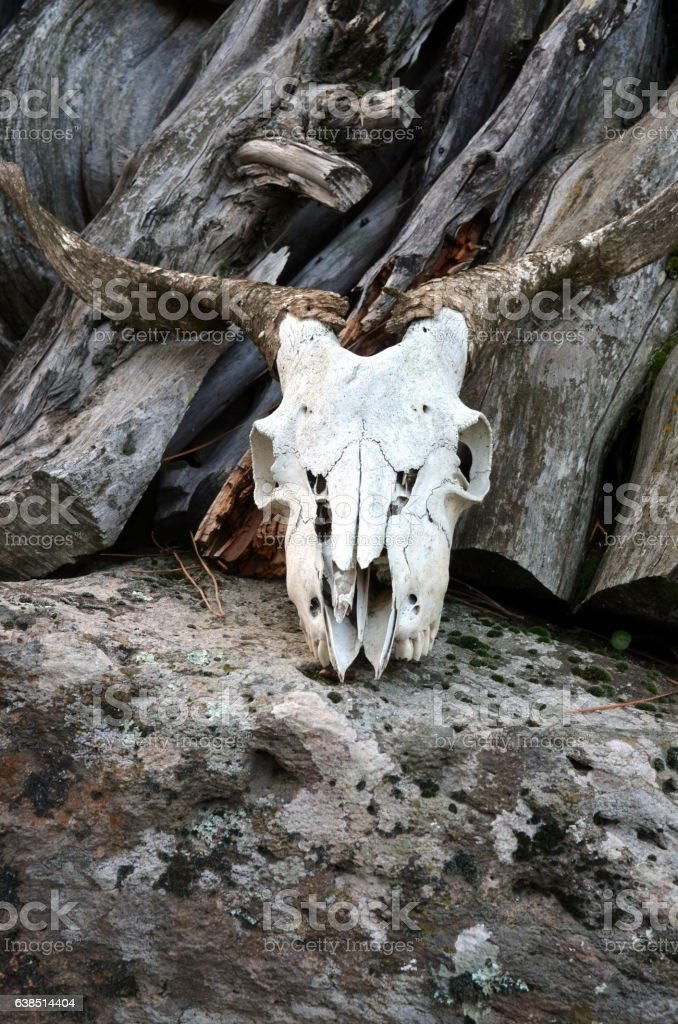Skull of a goat on a Rock stock photo