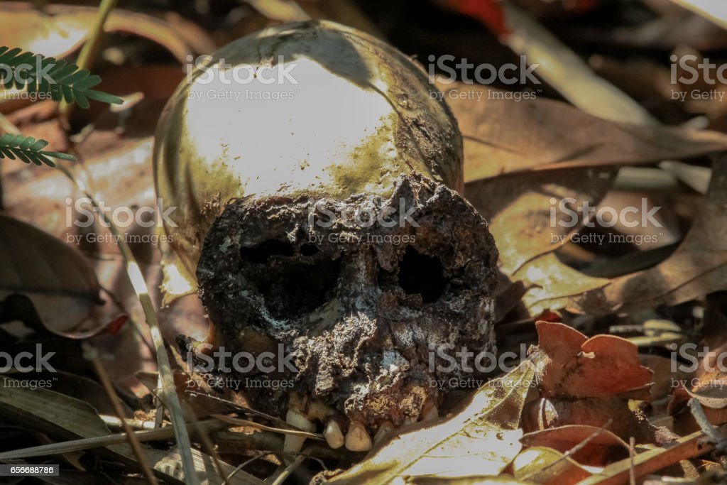 Skull of a Spider Moneky stock photo