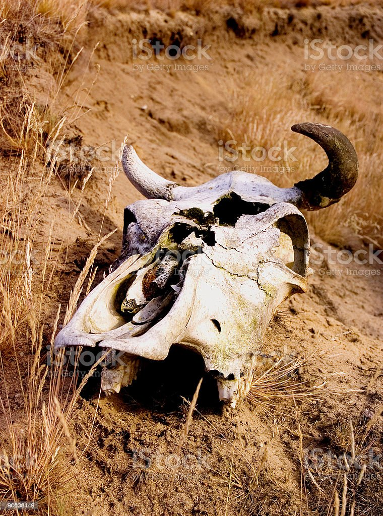 Skull Of Cow 3 royalty-free stock photo