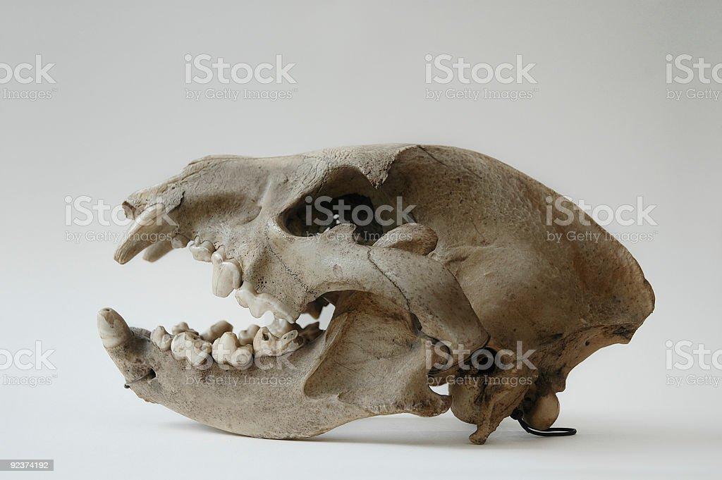 Skull of Hyena stock photo