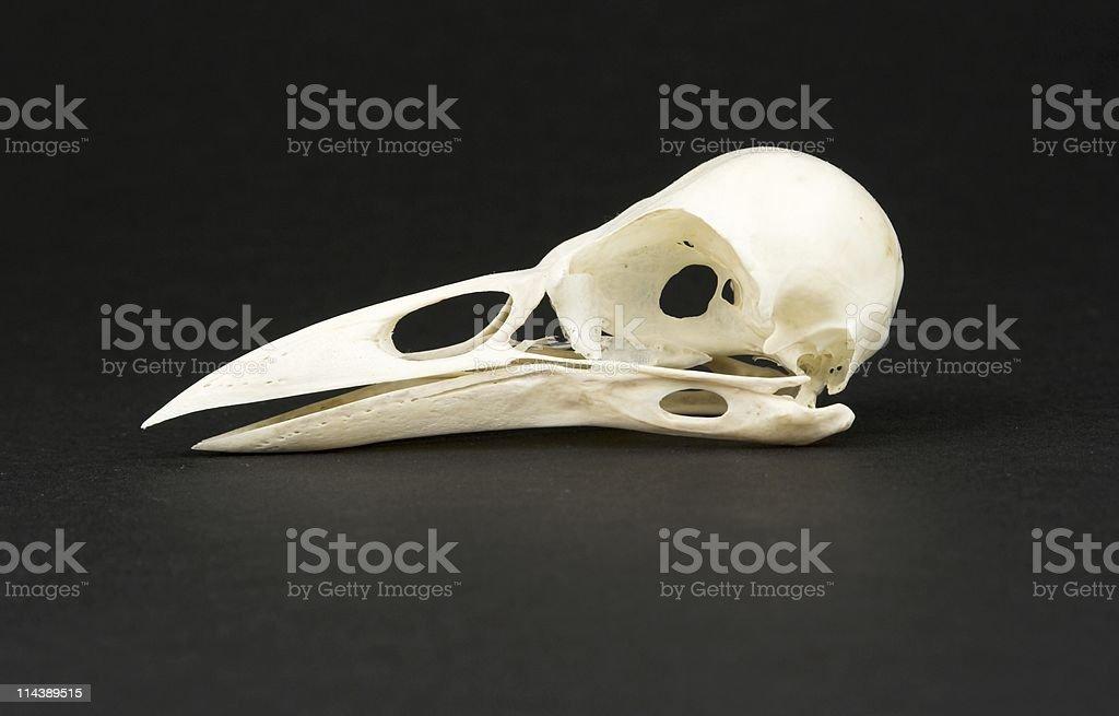 Skull Of Rook stock photo